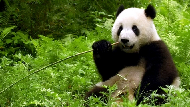 giant panda eating bamboo wide.jpg